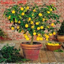 Гибридные мини деревья домашние фрукты оптом